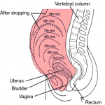 Uterus Size During Pregnancy